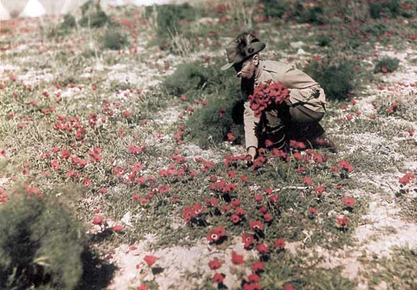 A soldier of the Australian Light Horse Brigade gathers anemones